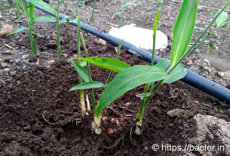 पोषण + मित्र सूक्ष्म जीव = मजबूत पौधे