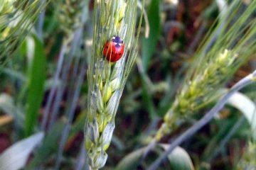 adult ladybug 2 small 360x240 1