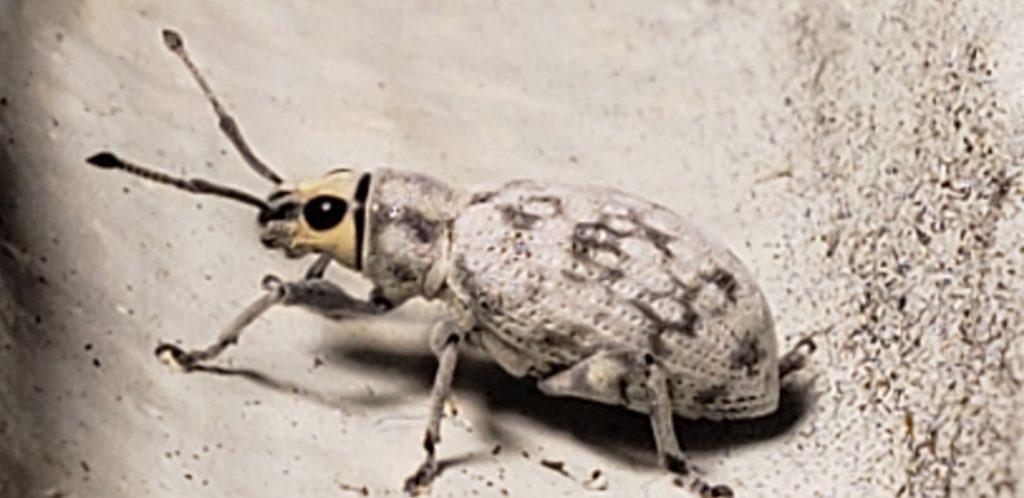 Myllocerus undicimpustulatus
