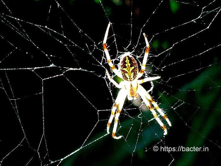 big spider- bacter