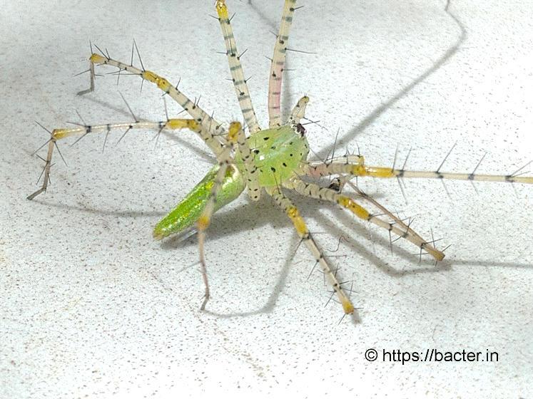 flower spider- bacter