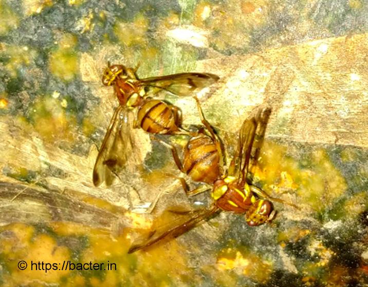 adult fruit flies laying eggs on mature pumpkin fruit