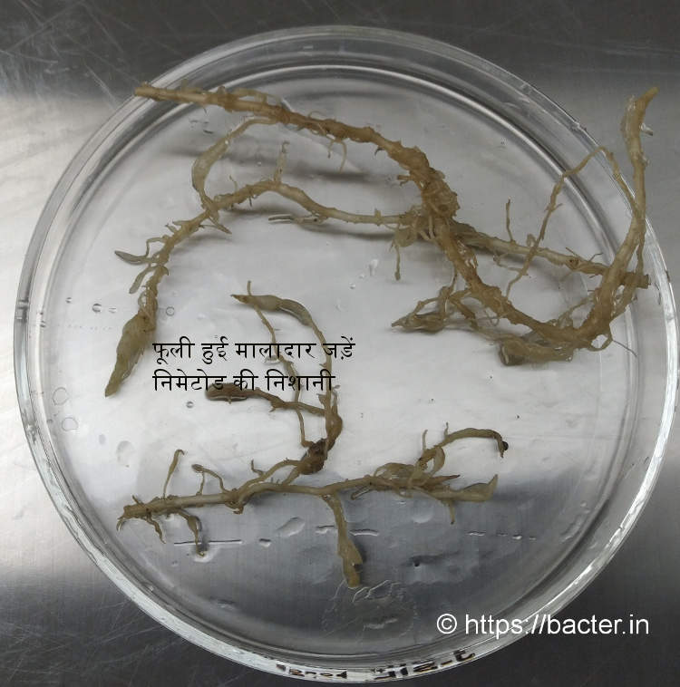 ginger roots infected with root knot nematodes
