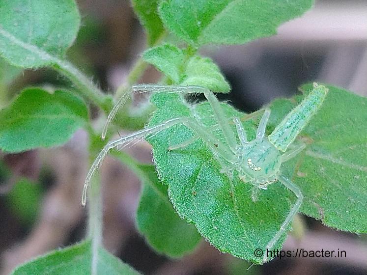 leaf spider- bacter