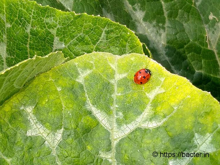 lady beetle on pumpkin leaf