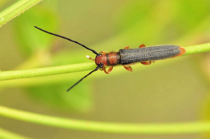 gurdle beetle