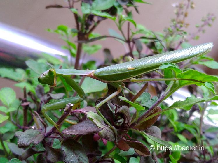 praying mantis- bacter